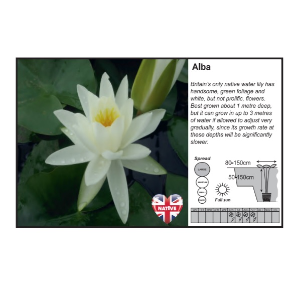 Alba Water Lily (3 Litres)